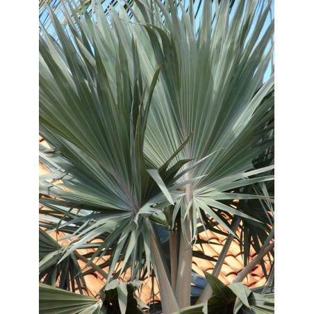 Latania sinolistna  ( Latania loddigesi) 1 nasiono - bajkowe srebrne liście