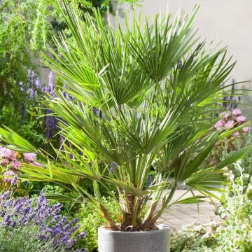 Karłatka niska (Chamaerops humilis) bujna i łatwa w uprawia