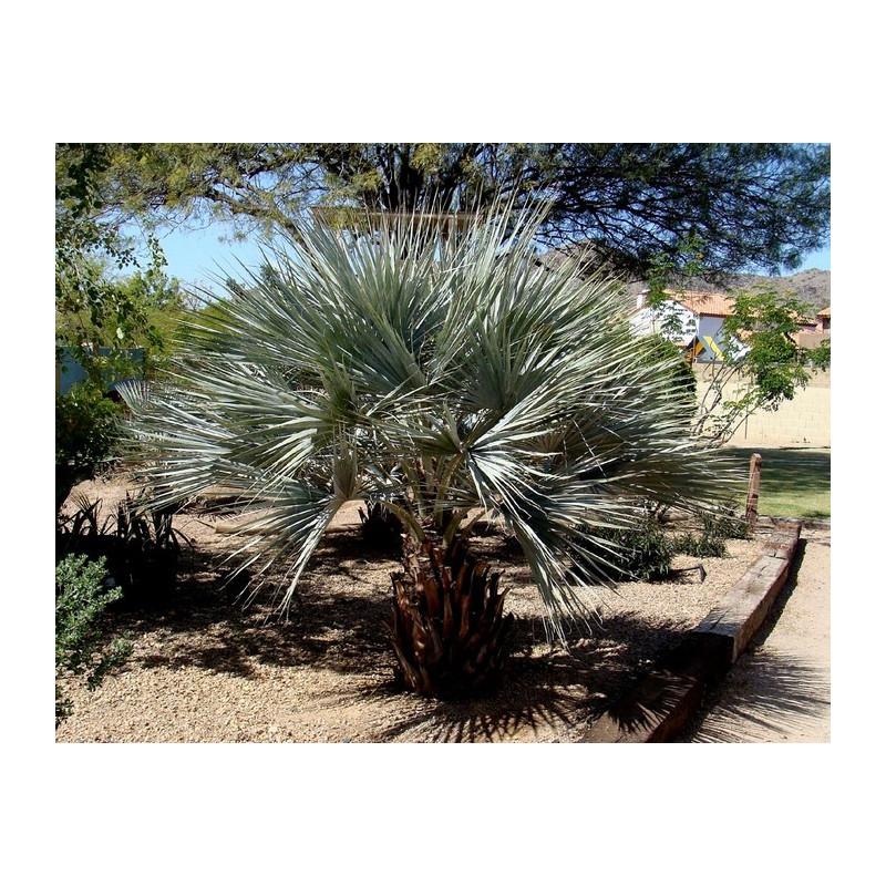"Palma Brahea ""Super SIlver""  (Brahea armata) nasiona palmy 5 szt."