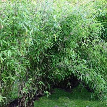 Bambus lśniący - Fargesia lśniąca (Fargesia nitida 'Great Wall')