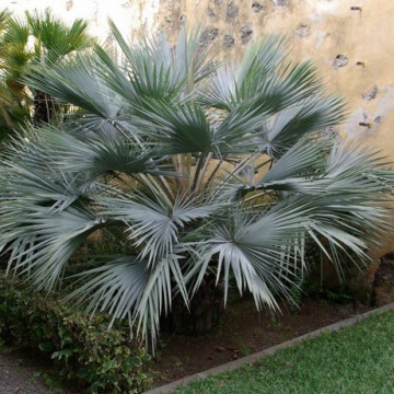Palma pakistańska (Nannorrhops ritchieana) nasiona