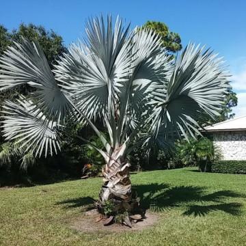 Palma Bismarcka (Bismarckia nobilis) nasiono