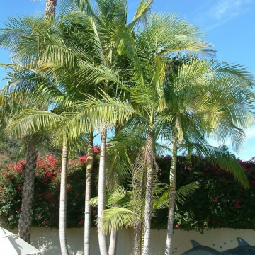 Palma królewska (Archontophoenix cunninghamiana) nasiona