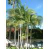 Palma królewska (Archontophoenix cunninghamiana) 140-160 cm