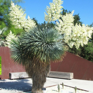 Juka rostrata (Yucca rostrata) nasiona
