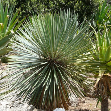 Juka Thompsona (Yucca thompsoniana) nasiona