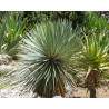 Juka Thompsona (Yucca thompsoniana) 5 nasion
