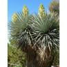 Juka rigida (Yucca rigida) nasiona