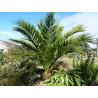 Daktylowiec kanaryjski (Phoenix canariensis) nasiona