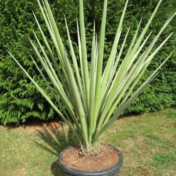 Liście jak sztylety Juka Torrey'ego (Yucca torreyi) nasiona