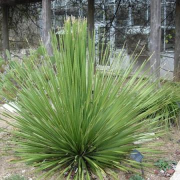 Sotol dasylirion (Dasylirion texanum) nasiona