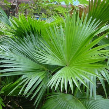 Liwistona okrągłolistna (Livistona rotundifolia) nasiona