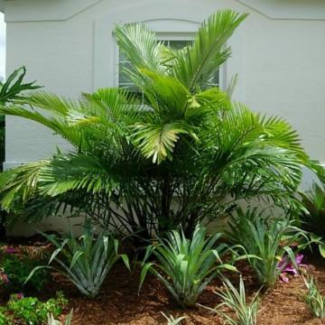 Miniaturowa palma cukrowa (Arenga engleri)
