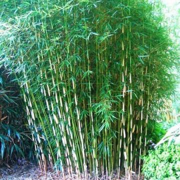 Fargesia olbrzymia (Fargesia robusta 'Campbell') - zdjęcie poglądowe
