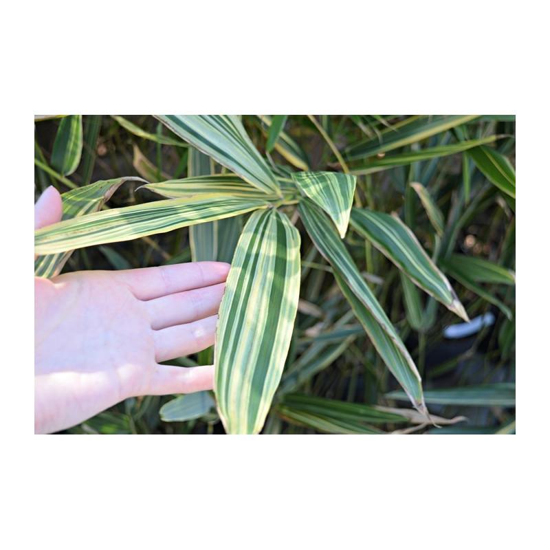 Bambus mieszańcowy (Hibanobambusa tranquillens) 'Shiroshima' - zdjęcie poglądowe