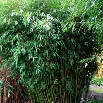 Fargesia olbrzymia (Fargesia robusta 'Pingwu')  - zdjęcie poglądowe