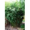 Fargesia olbrzymia (Fargesia robusta 'Pingwu') 40-60 cm