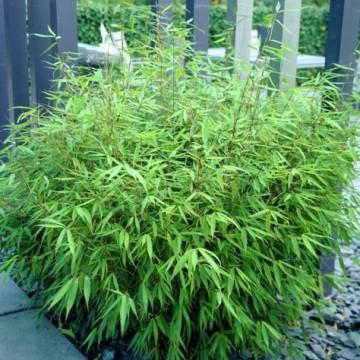 Fargesia rdzawa (Fargesia rufa) sadzonka bambusa ogrodowego