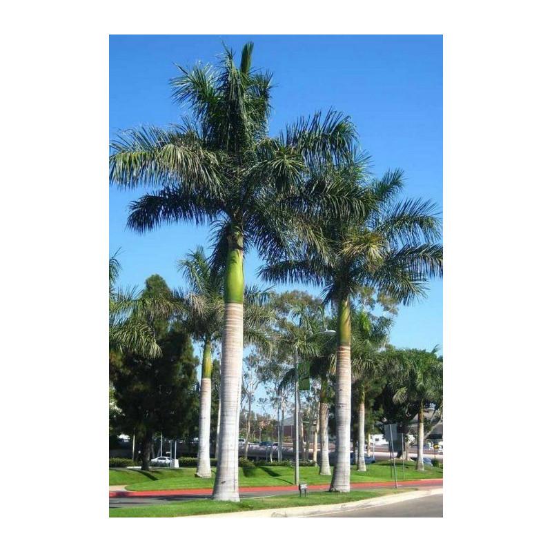 Kubańska palma królewska (Roystonea regia) 5 nasion