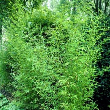 Bambus złocisty (Phyllostachys aurea) - zdjęcie poglądowe