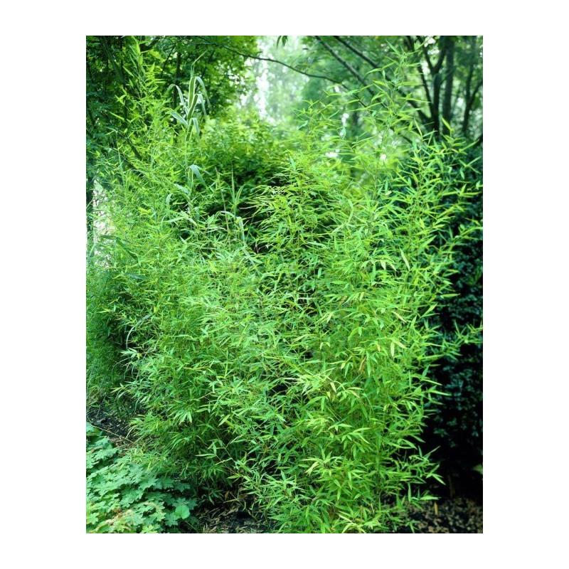 Bambus złocisty - Fylostachys złocisty (Phyllostachys aurea) 40-80 cm