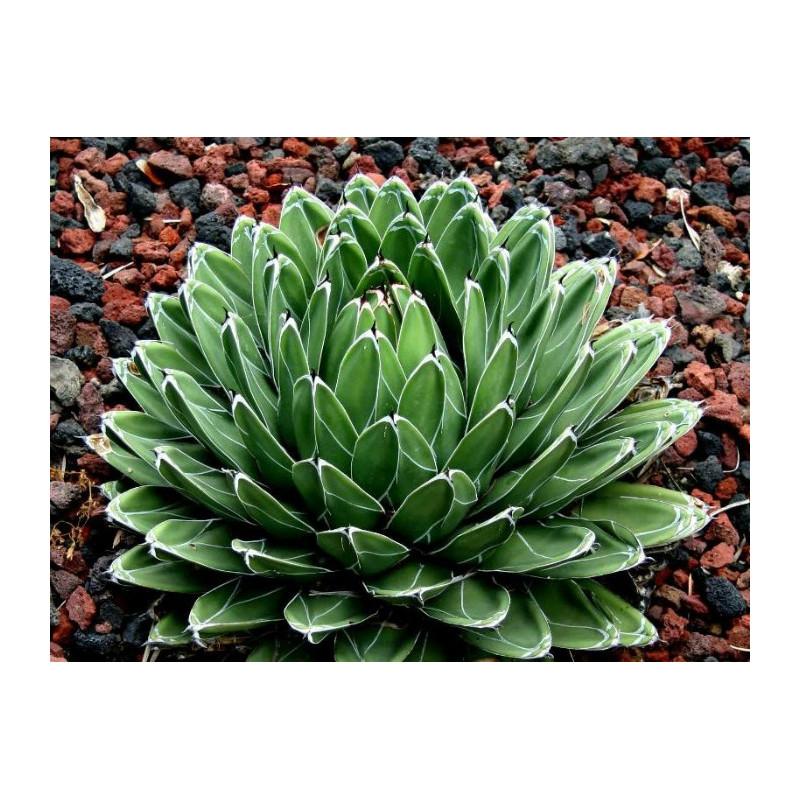 Agawa Królowej Wiktorii (Agave victoriae-reaginae) 5 nasion