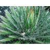 Agawa nitkowata (Agave filifera) nasiona