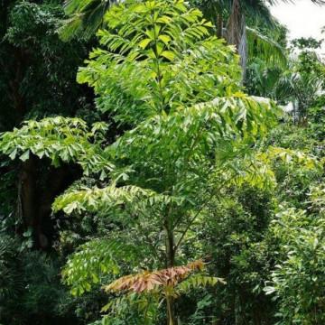 Palma orzechowa kariota (Caryota mitis) 5 nasion