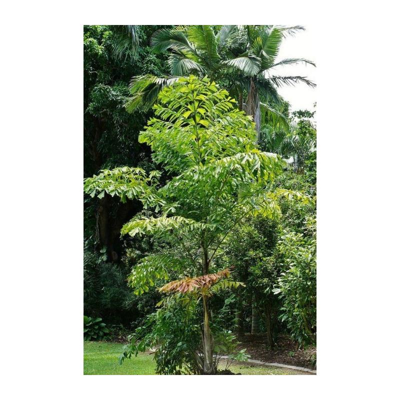 Palma orzechowa kariota (Caryota mitis) nasiona