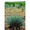 Kostrzewa kropkowana (Festuca punctoria) małe niebieskie kępki- zdjęcie poglądowe