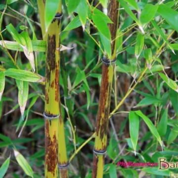 Bambus tygrysi (Phyllostachys nigra) 'Boryana' - zdjęcie poglądowe