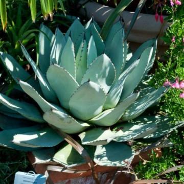 Agawa doniczkowa meksykańska (Agave parryi var. parryi) nasiona