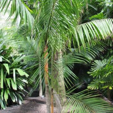 Euterpa jadalna - Sałatka milionerów (Euterpe edulis) nasiona