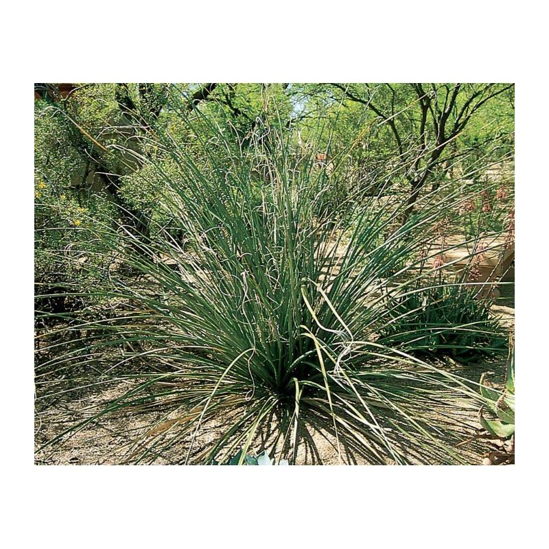Nolina drobnoowocowa (Nolina microcarpa) 5 nasion
