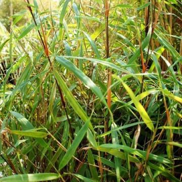 Fargesia Asian Wonder (Fargesia scabrida) - zdjęcie poglądowe