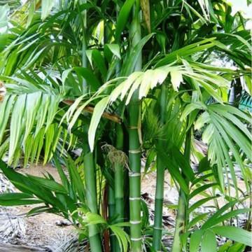 Palma areka (Areca trianda) 5 nasion