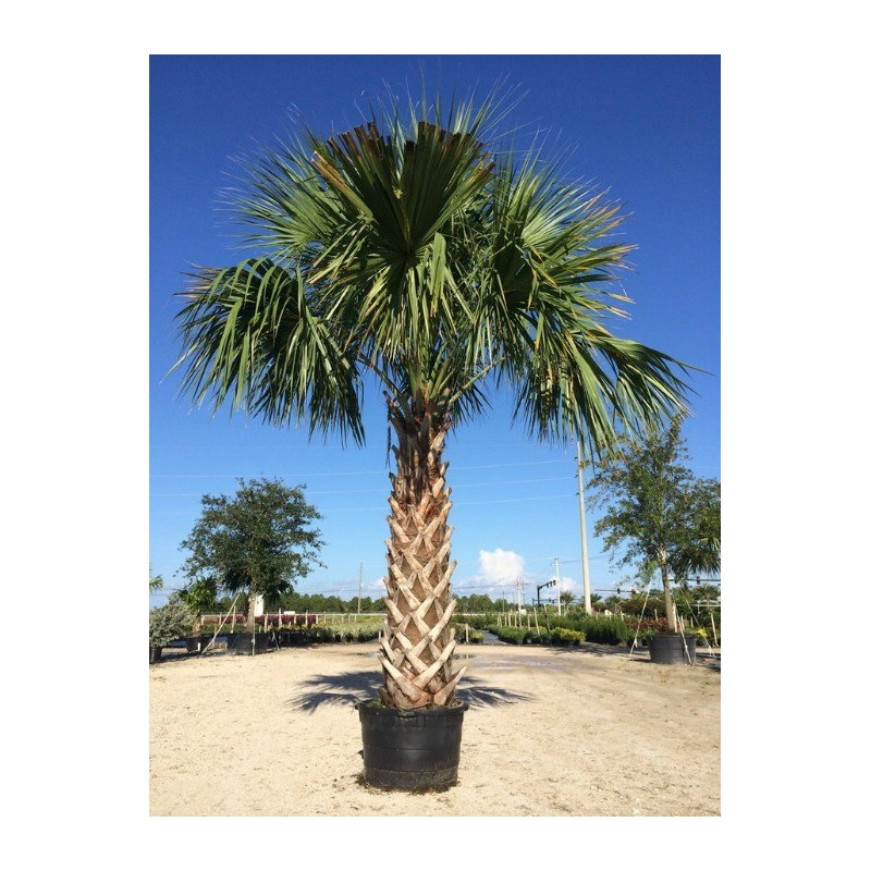 Palma kabaczkowa (Sabal palmetto) 5 nasion