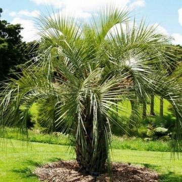 Palma tarasowa Bucja (Butia yatay) nasiona