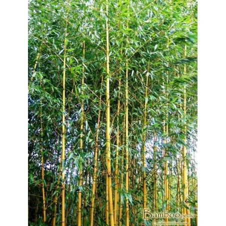 Bambus fylostachys złotobruzdowy (Phyllostachys aureosulcata 'Aureocaulis') 60-120 cm