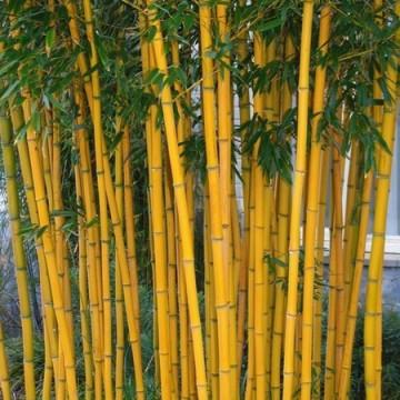 Bambus fylostachys złotobruzdowy (Phyllostachys aureosulcata 'Aureocaulis') 2,5 l