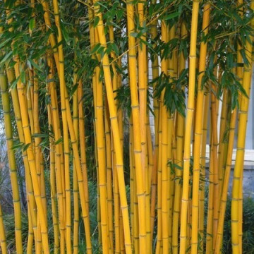 Bambus fylostachys złotobruzdowy (Phyllostachys aureosulcata 'Aureocaulis') zdjęcie poglądowe
