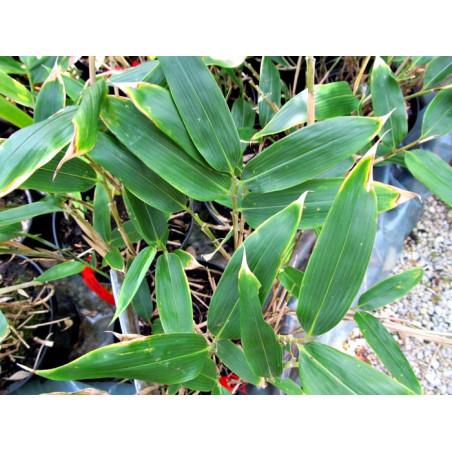 Sasa Veitcha (Sasa veitchii) 20-30 cm
