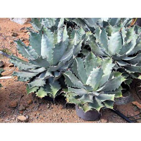 Agawa Papalome (Agave nussaviorum) 5 nasion