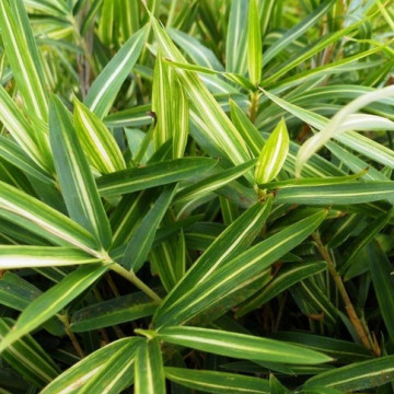 Plejoblast Tsuboiego (Pleioblastus shibuyanus) 'Tsuboi' - zdjęcie poglądowe