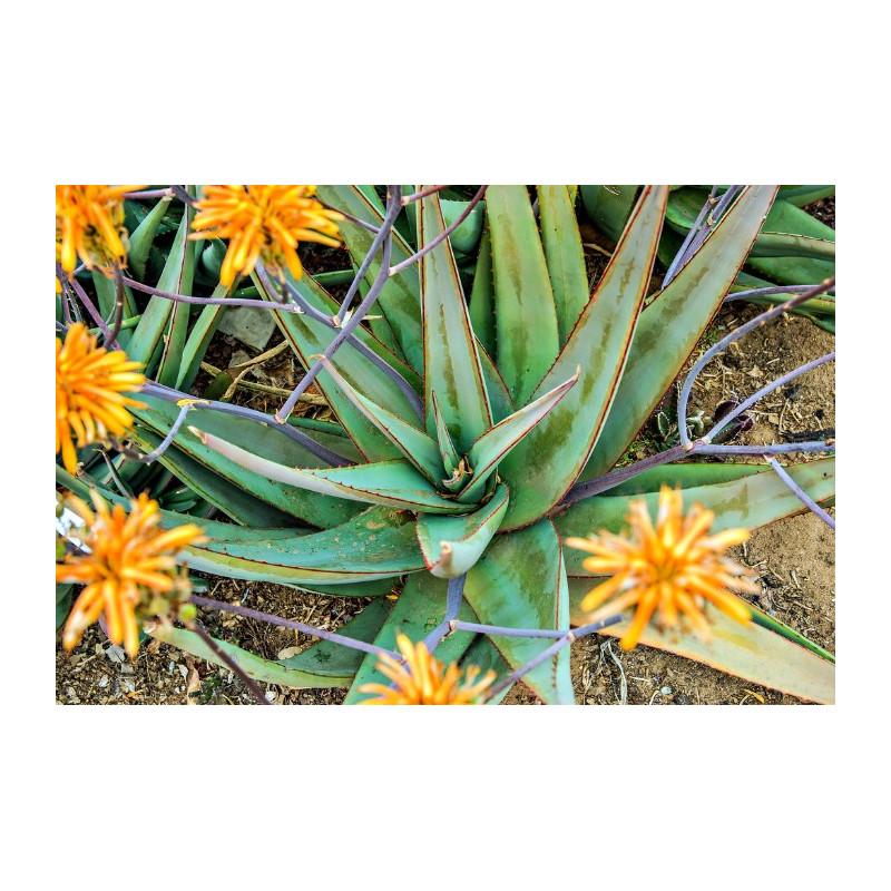 Aloes elegans (Aloe elegans) 5 nasion