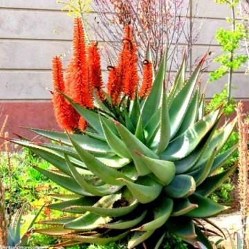 Aloes uzbrojony (Aloe ferox) nasiona