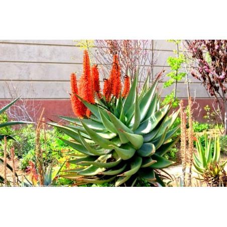 Aloes uzbrojony (Aloe ferox) 5 nasion