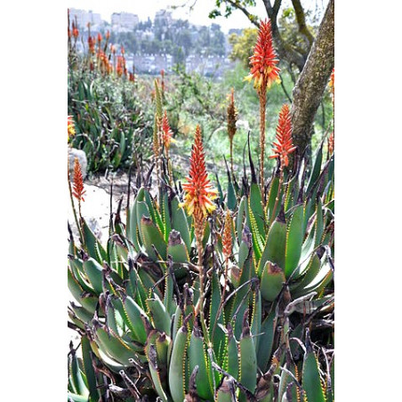 Aloes lutescens (Aloe lutescens) 5 nasion