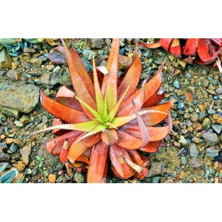 Aloes microstigma (Aloe microstigma) 5 nasion