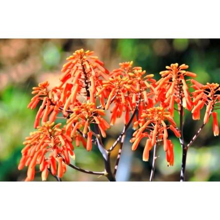 Aloes koralowy (Aloe striata) 5 nasion